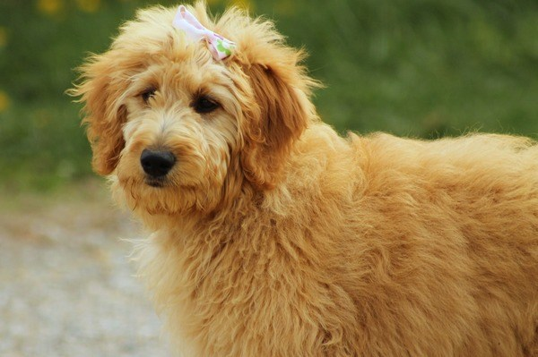 golden long-haird dog with a bow on its head