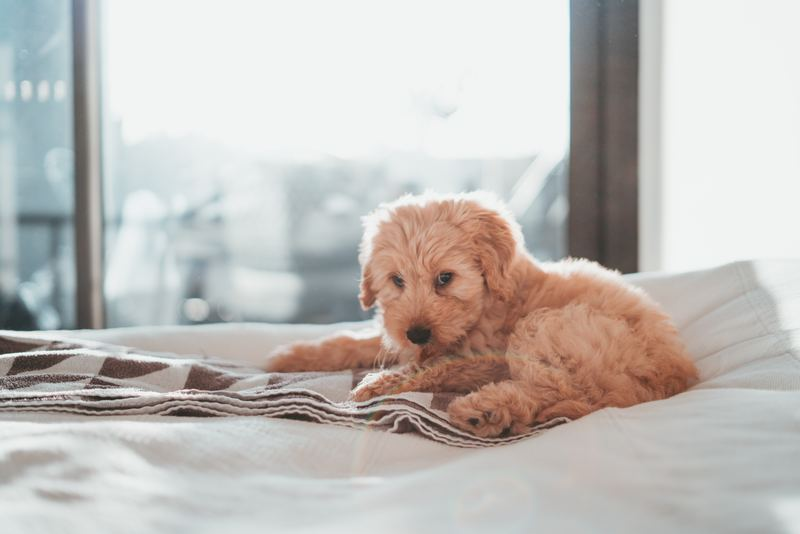 Puppy on a bed
